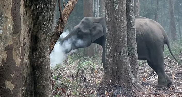 Ученых озадачила курящая слониха — необычное видео