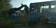 Бишкекте кулаган дарак аз жерден автобусту басып кала жаздады. Видео