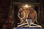 Цирктеги тигр. Архив