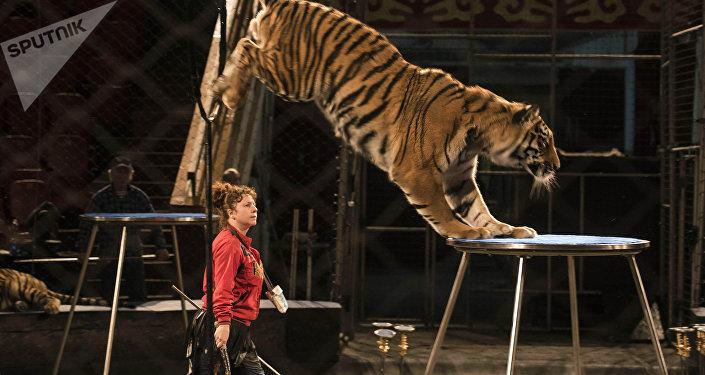 Подготовка к тигровому шоу Московского цирка Багдасаровых в Бишкеке
