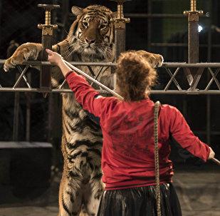 Известная дрессировщица Карина Багдасарова во время подготовки к тигровому шоу Московского цирка Багдасаровых в Бишкеке