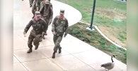 Гусь напал на американских военных и напугал их — смешное видео