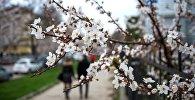 Цветение вишни. Архивное фото