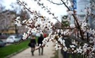 Цветение вишни в городе. Архивное фото