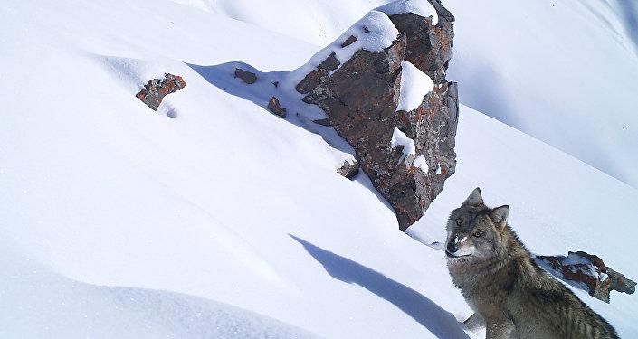 Помимо манула, в кадр попали волк, лиса, улары и заяц