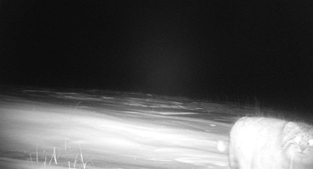 Фотоловушки зафиксировали манула в высокогорной долине Кара-Саз Кочкорского района Нарынской области