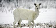 Редкий белый олень на поле. Архивное фото