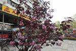 Сакура цветущая на пересечении улиц Абдрахманова и Токтогула в Бишкеке