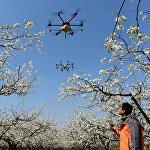 Кытайдын Цанчжоу окуругунда фермадагы гүлдөрдү чаңдаштыруу үчүн дронду колдонуп жатышат