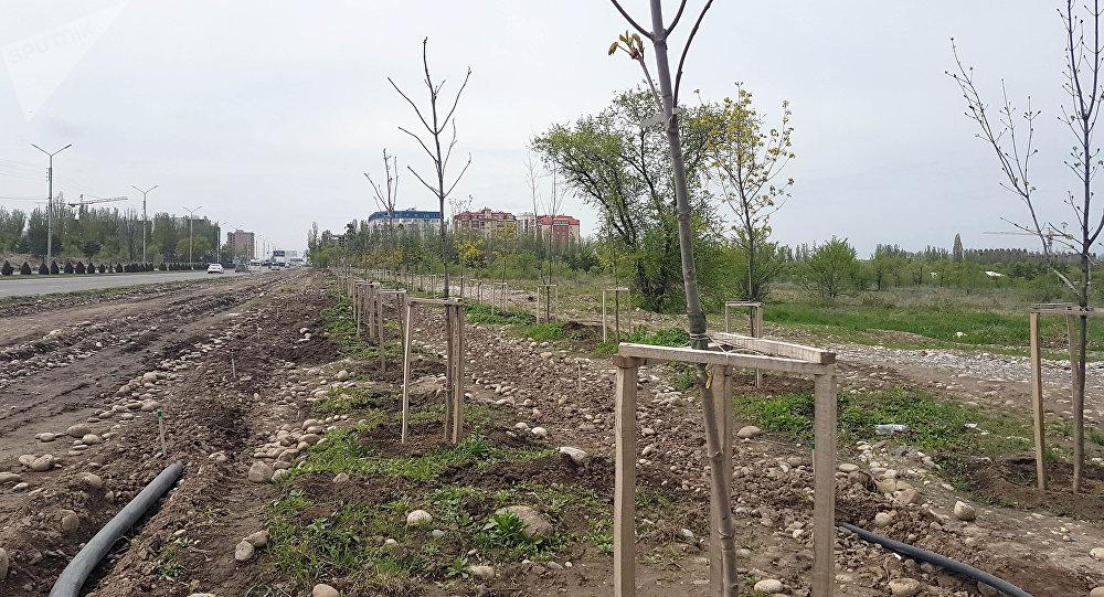 Импортные саженцы в Южной магистрали Бишкека