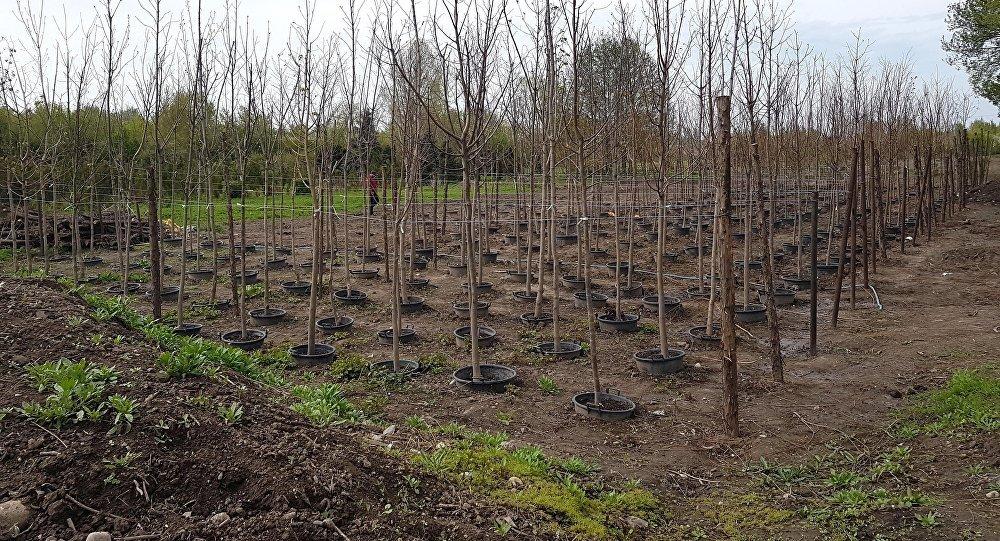 Муниципальное предприятие Зеленхоз при мэрии Бишкека выращивает собственные саженцы и через два года не будет нуждаться в их приобретении