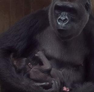 Горилла баюкает и целует новорожденного детеныша — очень милое видео