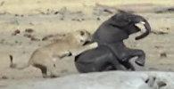 Смертельная схватка слоненка со львами в Зимбабве попала на видео