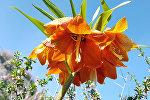 В Баткенской области разгар цветения краснокнижного растения Айгуль (рябчик Эдуарда)