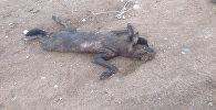 Жители Джеты-Огуза не могут понять, какое животное сбили на дороге. Видео