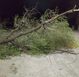 Упавшее из-за сильного ветра дерево, на пересечении улиц Логвиненко и Фрунзе в Бишкеке