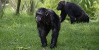Два шимпанзе. Архивное фото
