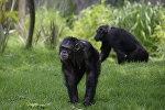 Шимпанзе. Архивное фото