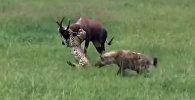 Антилопа против пяти гепардов и гиены — видео схватки появилось в Сети