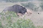 Антилопа гну отбилась от львиц, одну насадила на рог. Видео