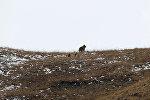 Медведица с детьми и горные козлы — это видео снято в Кыргызстане