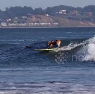 Кишилер менен жарыша серфинг тепкен ит элди таң калтырды. Видео