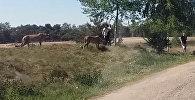 Туристтер гепарддарга жем болуп кала жаздады. Видео