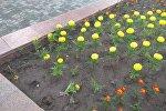 На центральной площади Ала-Тоо в Бишкеке вырвали 350 цветов с клумб