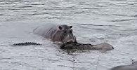 Бегемоты спасли антилопу гну от крокодила — видео из ЮАР