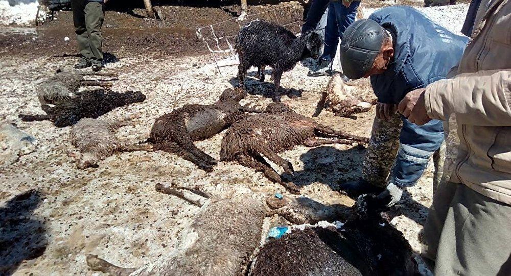 В двух селах Нарынской и Иссык-Кульской областей в результате заморозка пали 312 овец и одна корова