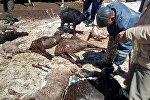 Калың кардын кесепетинен Ысык-Көл районундагы кыштоодо 112 кой жана бир уй өлгөнүн ӨКМдин маалымат кызматынан кабарлашты