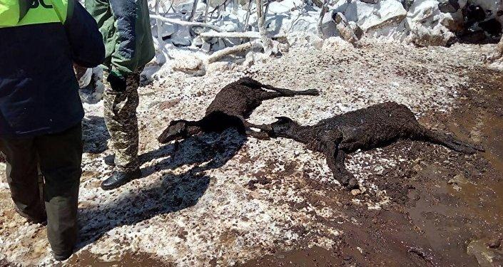 В двух селах Нарынской и Иссык-Кульской областей пали 312 овец и одна корова