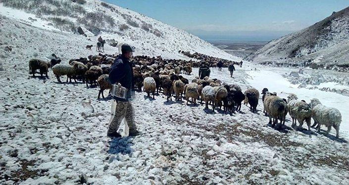 На зимовье Эки-Чат в селе Сары-Камыш Иссык-Кульского района жертвами падежа стали 112 овец.