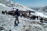 Падеж скота в двух селах Нарынской и Иссык-Кульской областей в результате заморозка