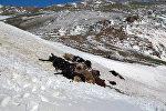 Ысык-Көл облусунун аймактарындагы жайыттарга түшкөн кар менен катуу шамалдын кесепети