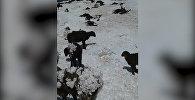 Нарын менен Көлдөгү жут. Тоңгон койлор менен аскадан кулаган жылкылардын видеосу