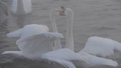 Лебеди. Архивное фото