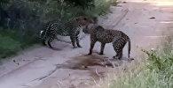 Рыки и удары. Схватку двух леопардов сняли на видео