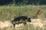 От удара буйвола львенок перевернулся в воздухе несколько раз. Видео