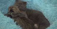 Кошка Моника из приморского зоопарка заменила мать новорожденной рыси