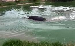 Бегемот навел на гиеновых собак антилопу, направив ее на берег — видео
