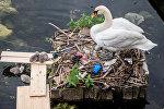 Лебедь с птенцами на гнезде сделанной из мусора. Архивное фото