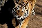 Молодой тигр. Архивное фото