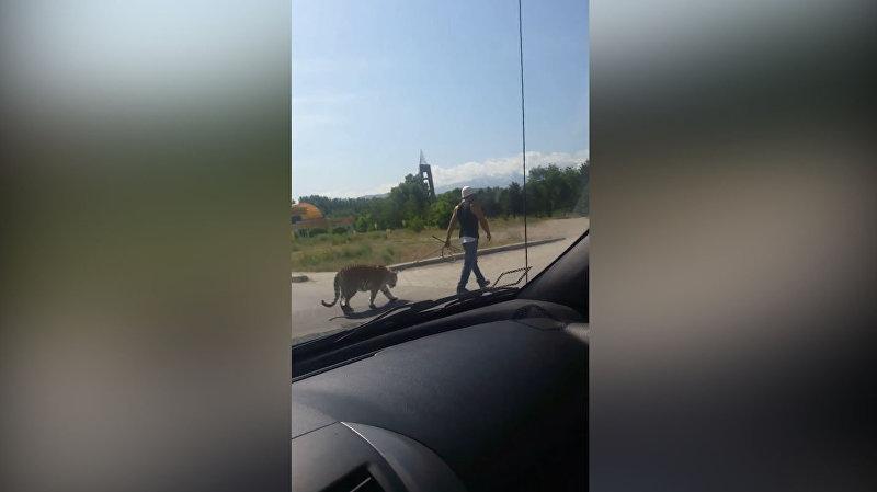 Фотографии с тигром, которого выгуливают на поводке, вызвали ажиотаж в Сети.