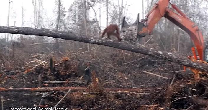 Разъяренный орангутан сразился с бульдозером, спасая свой лес. Видео