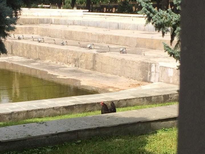 Курица разгуливает по территории Белого дома