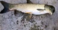 В Китае поймали рыбу с головой, как у голубя. Видео