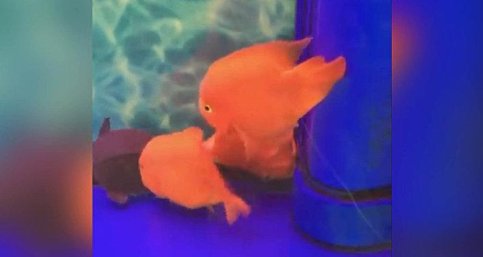 Рыбка отбила атаку черепахи, пытаясь спасти умирающего сородича. Видео