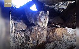 Впервые на видео попал волшебный кролик. Уникальные кадры