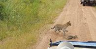 Хлестал хвостом — схватку леопарда и варана сняли на видео